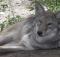 Barrhaven coyote