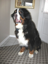 George the Barrhaven Bernese Mountain Dog
