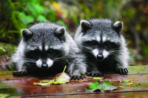 Barrhaven raccoons